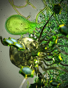 Anaerobic gut fungi colonize biomass, and secreted enzymes that release free sugars into their environment. (Artistic rendering of the fungi by UCSB engineering graphic designer Peter Allen)