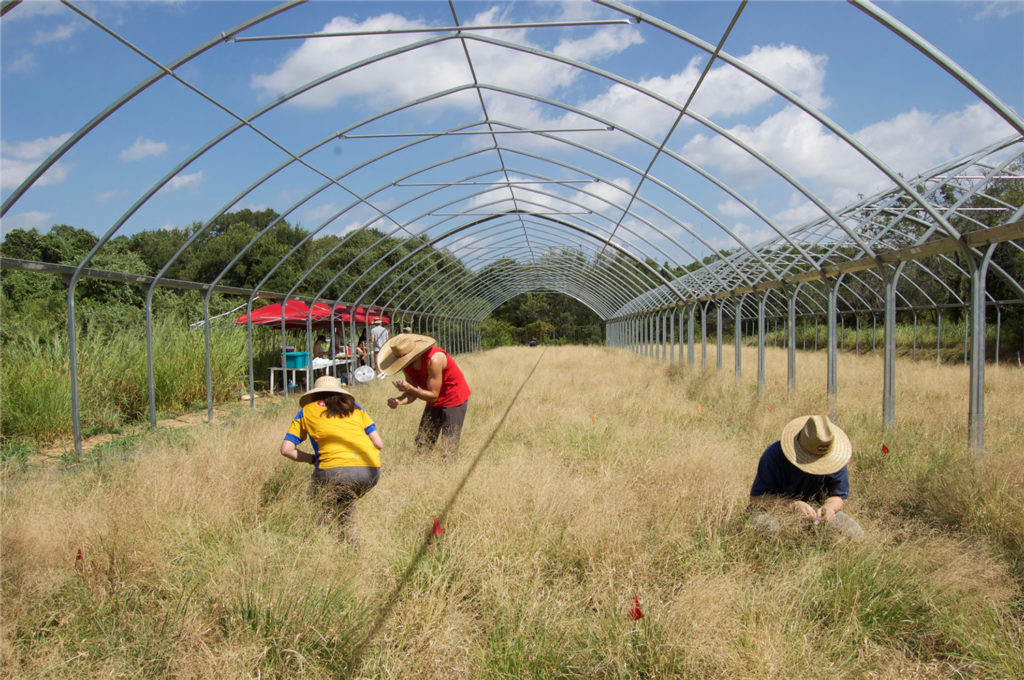 Field researchers studying drought responses in Panicum hallii at the UT Austin Brackenridge Field Lab. (David Gilbert)