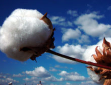 cotton boll G. hirsutum (Cotton Inc)